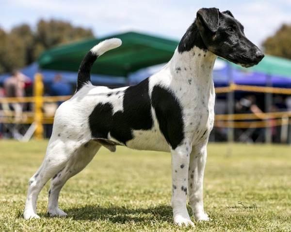 Фокстерьер-собака-Описание-особенности-содержание-уход-и-цена-породы-фокстерьер-13