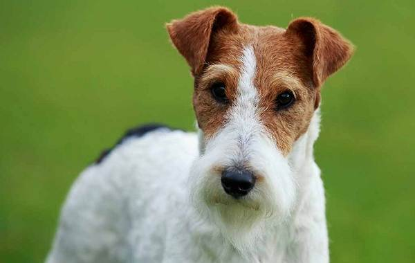 Фокстерьер-собака-Описание-особенности-содержание-уход-и-цена-породы-фокстерьер-14