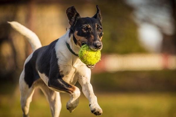 Фокстерьер-собака-Описание-особенности-содержание-уход-и-цена-породы-фокстерьер-15