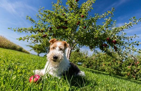 Фокстерьер-собака-Описание-особенности-содержание-уход-и-цена-породы-фокстерьер-16