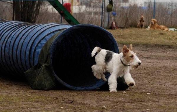 Фокстерьер-собака-Описание-особенности-содержание-уход-и-цена-породы-фокстерьер-18
