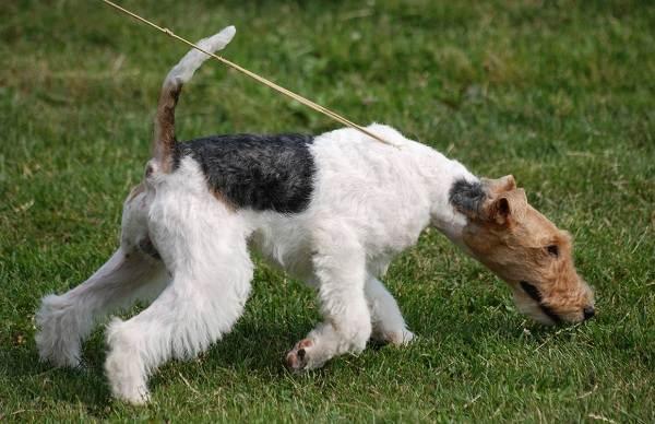Фокстерьер-собака-Описание-особенности-содержание-уход-и-цена-породы-фокстерьер-2