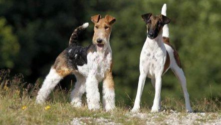Фокстерьер собака. Описание, особенности, содержание, уход и цена породы фокстерьер