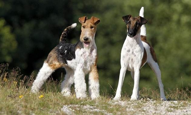 Фокстерьер-собака-Описание-особенности-содержание-уход-и-цена-породы-фокстерьер-5