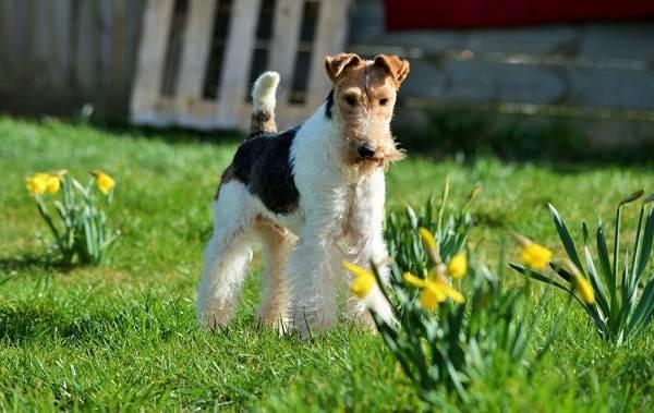 Фокстерьер-собака-Описание-особенности-содержание-уход-и-цена-породы-фокстерьер-8