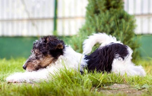 Фокстерьер-собака-Описание-особенности-содержание-уход-и-цена-породы-фокстерьер-9