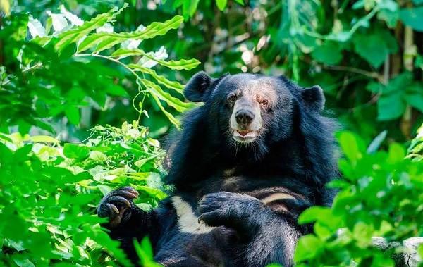 Гималайский-медведь-Описание-особенности-образ-жизни-и-среда-обитания-гималайского-медведя-1