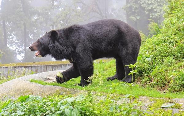 Гималайский-медведь-Описание-особенности-образ-жизни-и-среда-обитания-гималайского-медведя-10