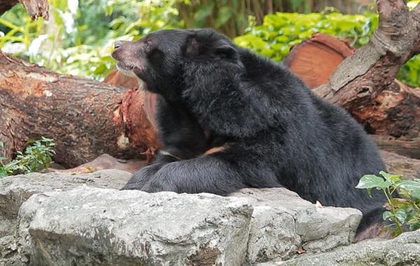Гималайский-медведь-Описание-особенности-образ-жизни-и-среда-обитания-гималайского-медведя-12