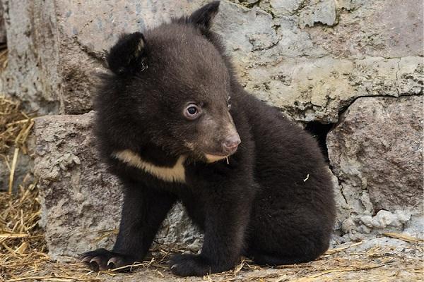 Гималайский-медведь-Описание-особенности-образ-жизни-и-среда-обитания-гималайского-медведя-13