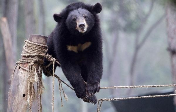 Гималайский-медведь-Описание-особенности-образ-жизни-и-среда-обитания-гималайского-медведя-15