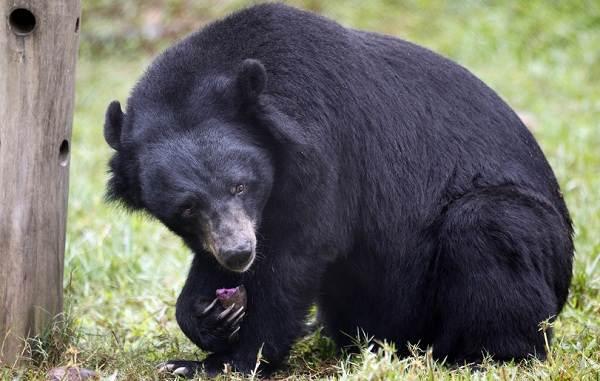 Гималайский-медведь-Описание-особенности-образ-жизни-и-среда-обитания-гималайского-медведя-4