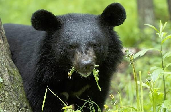 Гималайский-медведь-Описание-особенности-образ-жизни-и-среда-обитания-гималайского-медведя-5