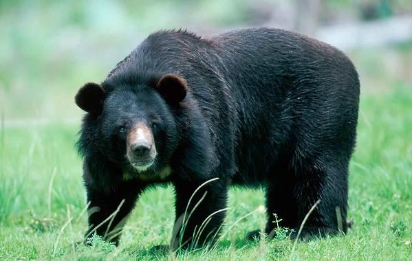 Гималайский-медведь-Описание-особенности-образ-жизни-и-среда-обитания-гималайского-медведя-6