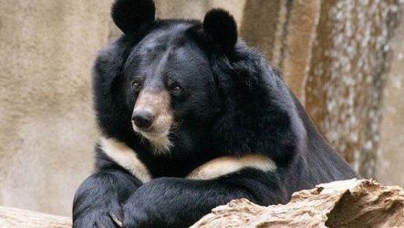 Гималайский медведь. Описание, особенности, образ жизни и среда обитания гималайского медведя