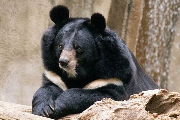 Гималайский-медведь-Описание-особенности-образ-жизни-и-среда-обитания-гималайского-медведя-7