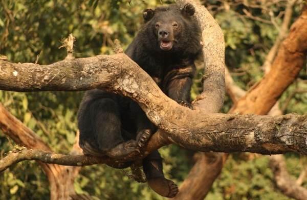 Гималайский-медведь-Описание-особенности-образ-жизни-и-среда-обитания-гималайского-медведя-8