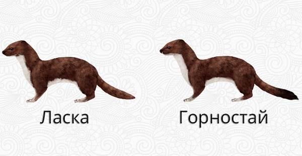 Горностай-животное-Описание-особенности-образ-жизни-и-среда-обитания-горностая-3