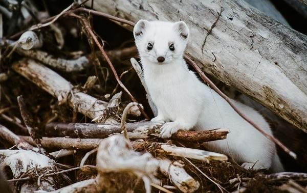 Горностай-животное-Описание-особенности-образ-жизни-и-среда-обитания-горностая-4