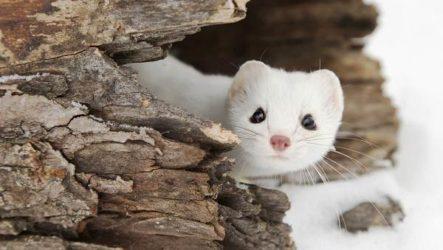 Горностай животное. Описание, особенности, образ жизни и среда обитания горностая