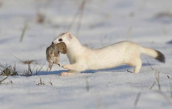 Горностай-животное-Описание-особенности-образ-жизни-и-среда-обитания-горностая-6