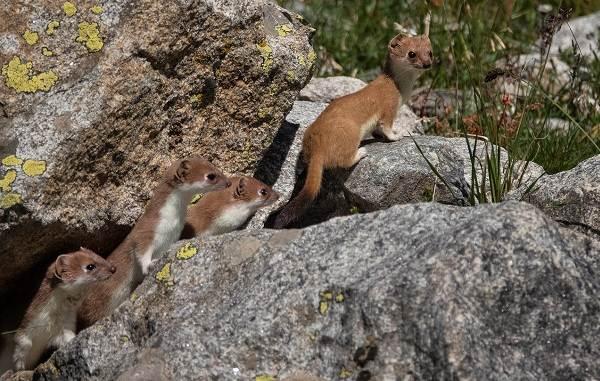 Горностай-животное-Описание-особенности-образ-жизни-и-среда-обитания-горностая-9