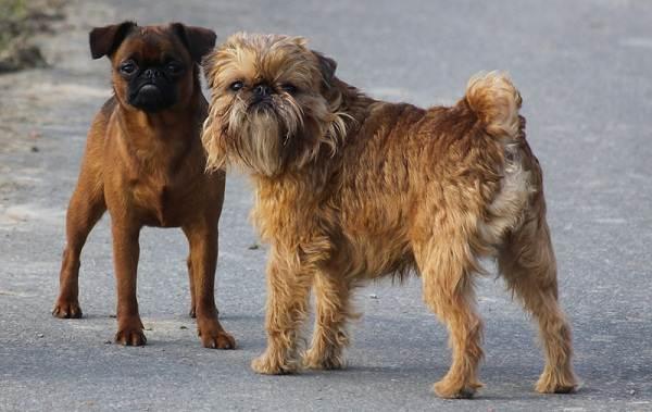 Грифон-собака-Описание-особенности-виды-уход-и-содержание-породы-грифон-11