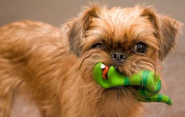 Грифон-собака-Описание-особенности-виды-уход-и-содержание-породы-грифон-12