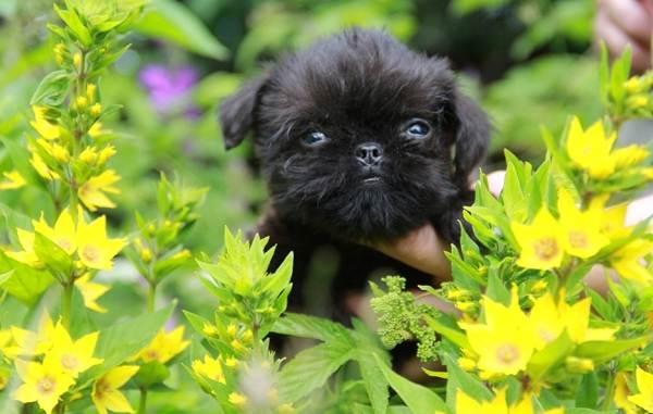 Грифон-собака-Описание-особенности-виды-уход-и-содержание-породы-грифон-14