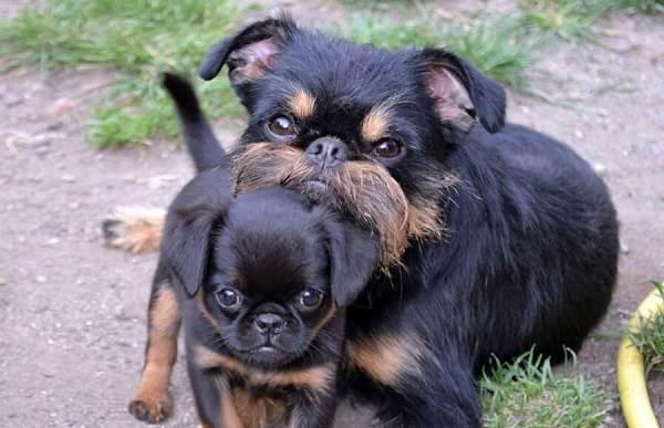 Грифон-собака-Описание-особенности-виды-уход-и-содержание-породы-грифон-15