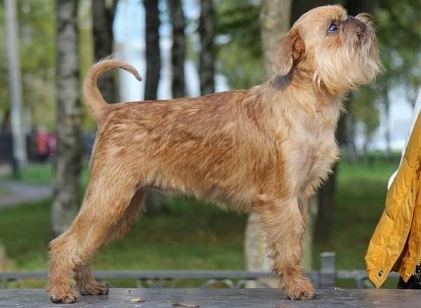 Грифон-собака-Описание-особенности-виды-уход-и-содержание-породы-грифон-17