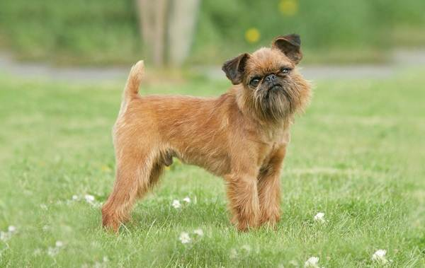 Грифон-собака-Описание-особенности-виды-уход-и-содержание-породы-грифон-3