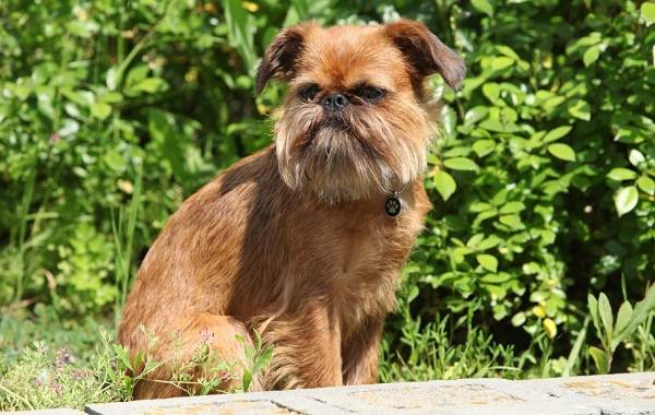 Грифон-собака-Описание-особенности-виды-уход-и-содержание-породы-грифон-4
