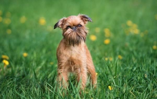 Грифон-собака-Описание-особенности-виды-уход-и-содержание-породы-грифон-5