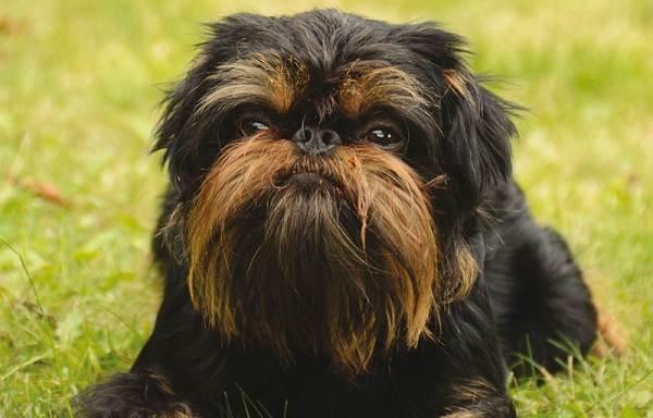 Грифон-собака-Описание-особенности-виды-уход-и-содержание-породы-грифон-6