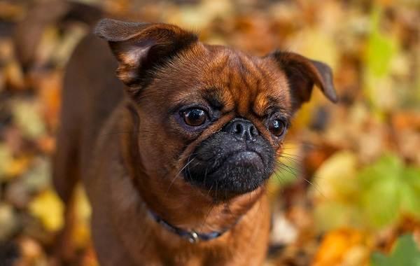 Грифон-собака-Описание-особенности-виды-уход-и-содержание-породы-грифон-7