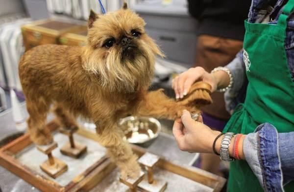 Грифон-собака-Описание-особенности-виды-уход-и-содержание-породы-грифон-8