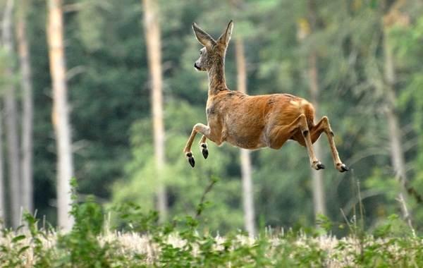 Косуля-животное-Описание-особенности-виды-образ-жизни-и-среда-обитания-косули-10