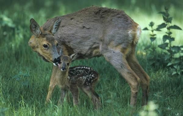 Косуля-животное-Описание-особенности-виды-образ-жизни-и-среда-обитания-косули-15
