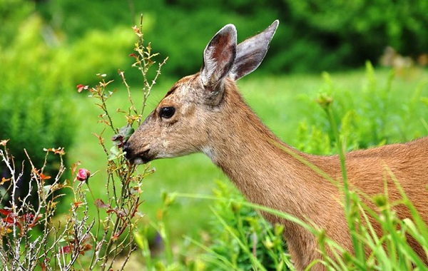 Косуля-животное-Описание-особенности-виды-образ-жизни-и-среда-обитания-косули-16