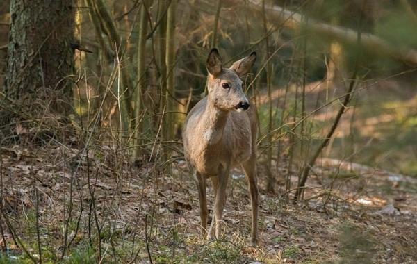 Косуля-животное-Описание-особенности-виды-образ-жизни-и-среда-обитания-косули-19