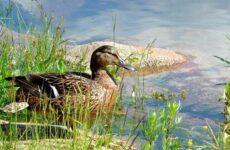 Кряква птица. Описание, особенности, виды, образ жизни и среда обитания кряквы