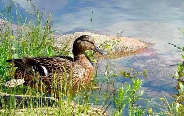 Кряква-птица-Описание-особенности-виды-образ-жизни-и-среда-обитания-кряквы-13
