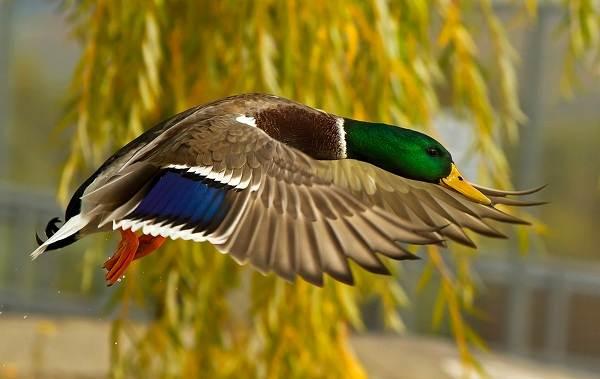 Кряква-птица-Описание-особенности-виды-образ-жизни-и-среда-обитания-кряквы-3