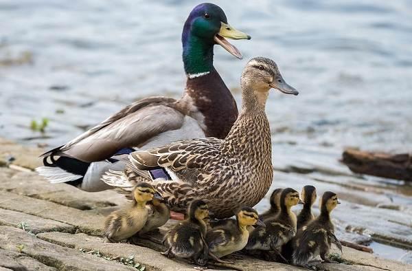 Кряква-птица-Описание-особенности-виды-образ-жизни-и-среда-обитания-кряквы-4