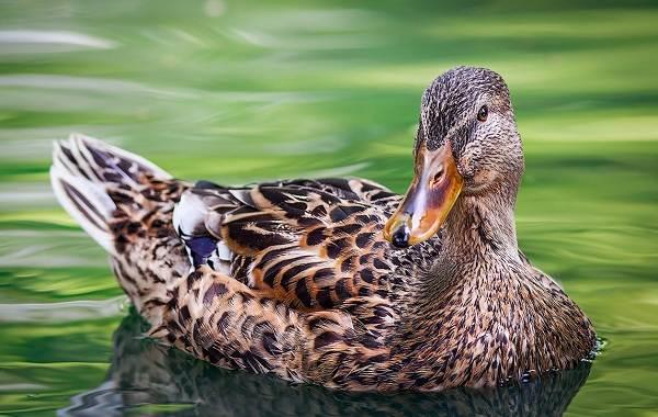 Кряква-птица-Описание-особенности-виды-образ-жизни-и-среда-обитания-кряквы-6