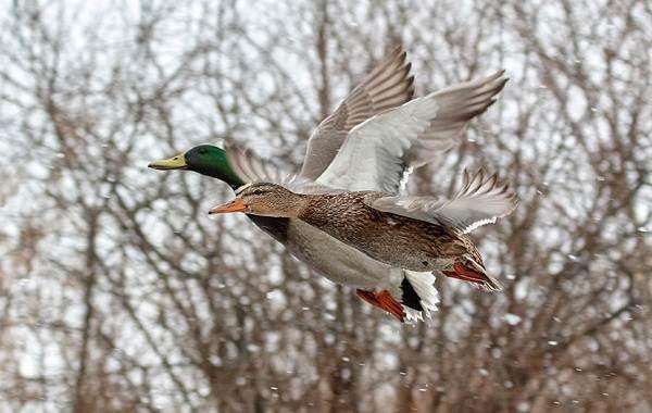 Кряква-птица-Описание-особенности-виды-образ-жизни-и-среда-обитания-кряквы-9