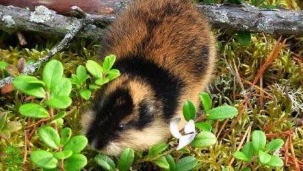 Лемминг животное. Описание, особенности, виды, образ жизни и среда обитания лемминга