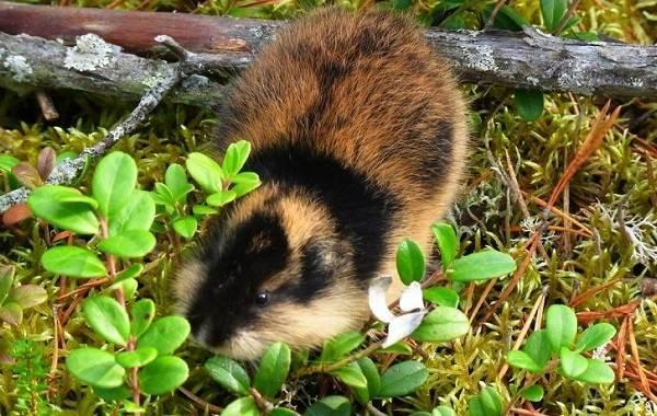 Лемминг-животное-Описание-особенности-виды-образ-жизни-и-среда-обитания-лемминга-1