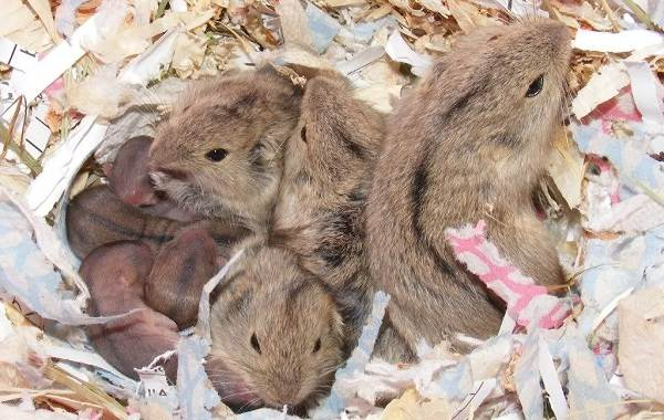 Лемминг-животное-Описание-особенности-виды-образ-жизни-и-среда-обитания-лемминга-18